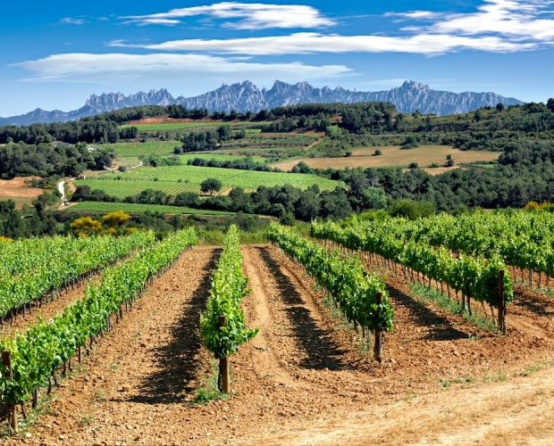 Vineyards at the feet of Montserrat